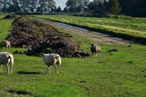 Ecopassage Schie, schapen in wei